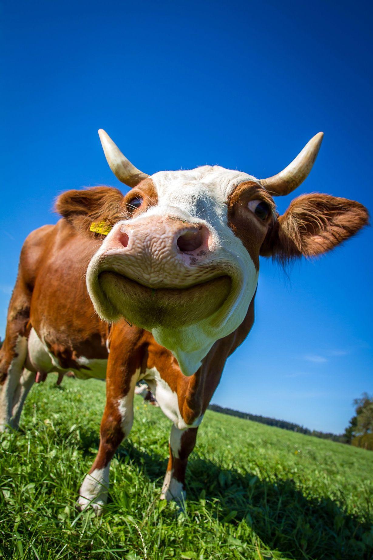 Прикольные коровы картинки, оригинально
