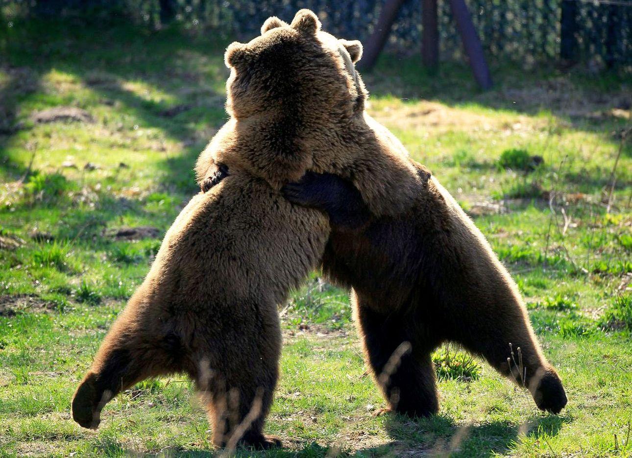 картинка танцующие медведи ваша служба