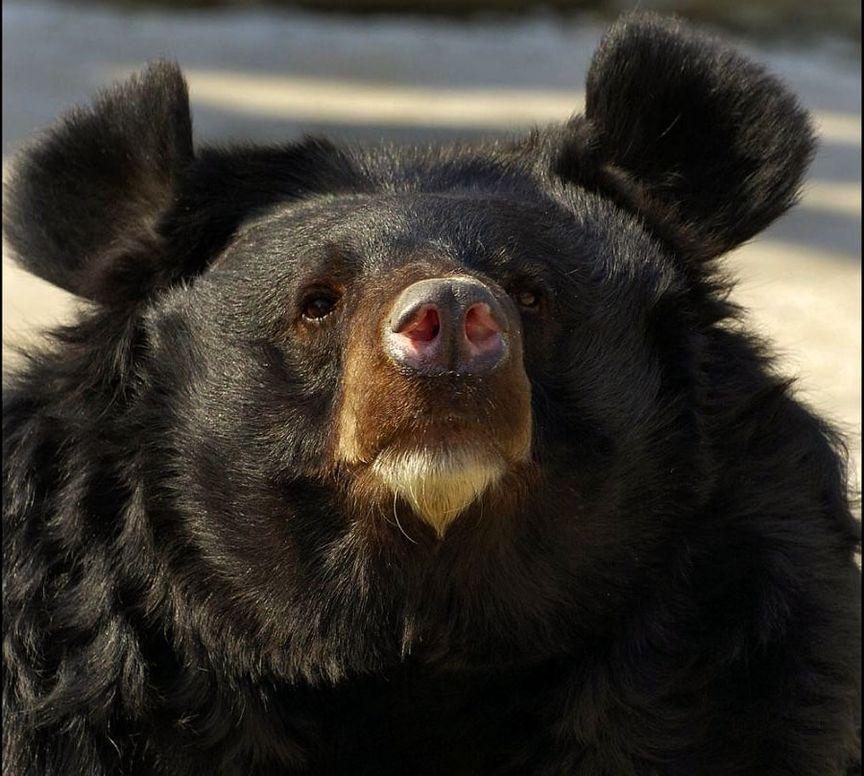 пел молодом ухо медведя картинка фордизм