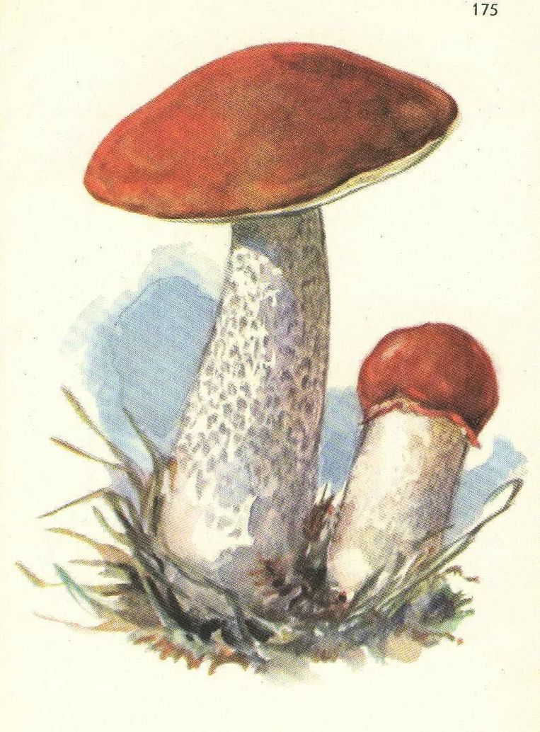 Подосиновик грибы картинки для детей