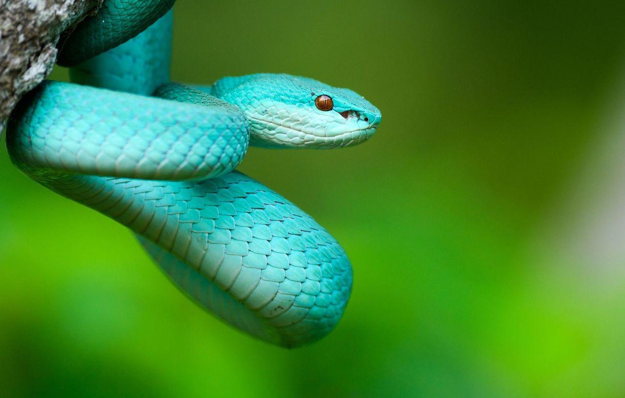 синяя змея картинка что