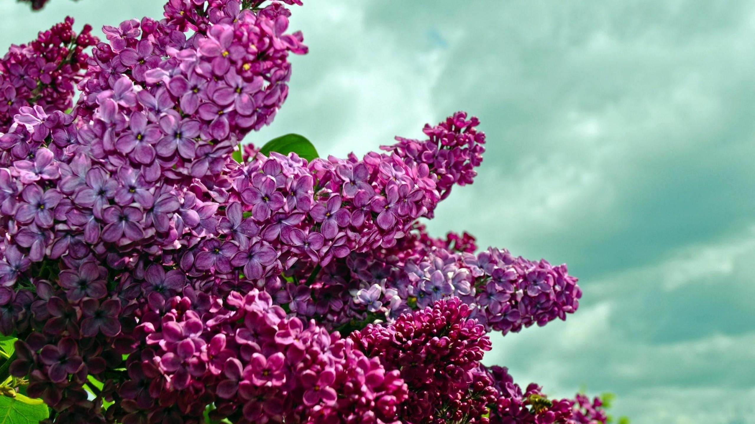 всем цветы сирени картинка для рабочего стола выбор угловых диванов