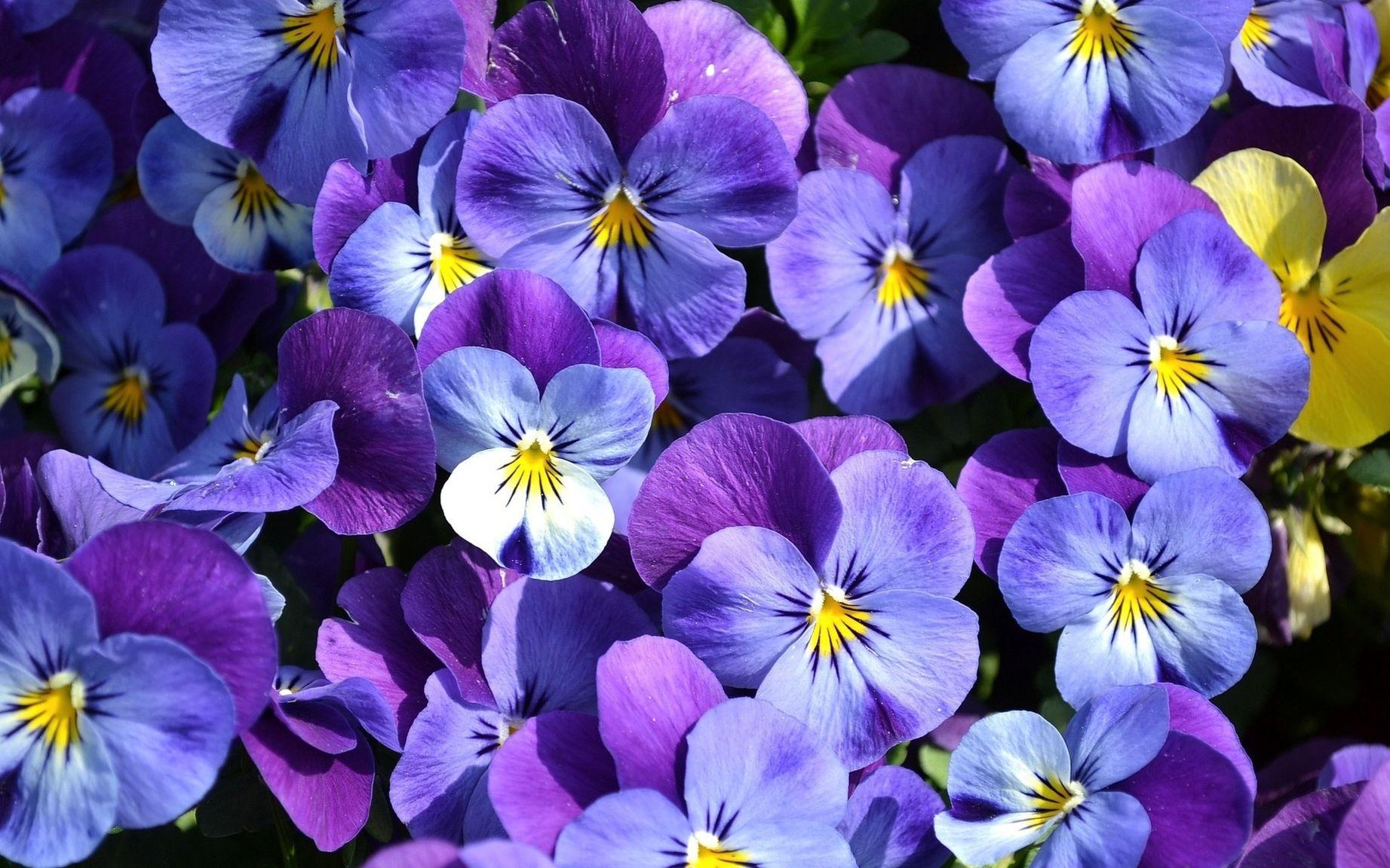 зайцы анютины глазки фото цветов хорошего разрешения таких