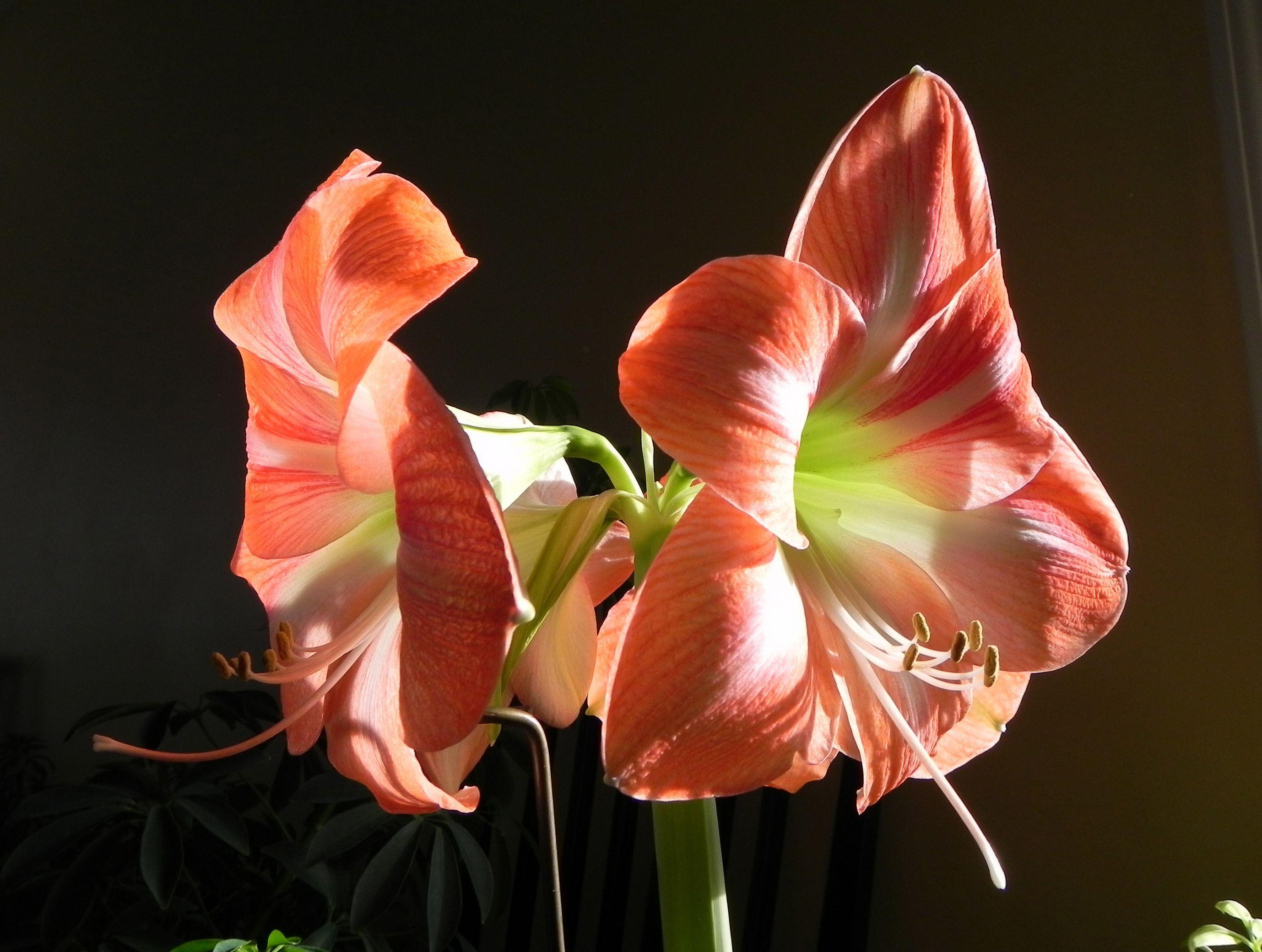 одной фото цветка амариллис клюет дна весу