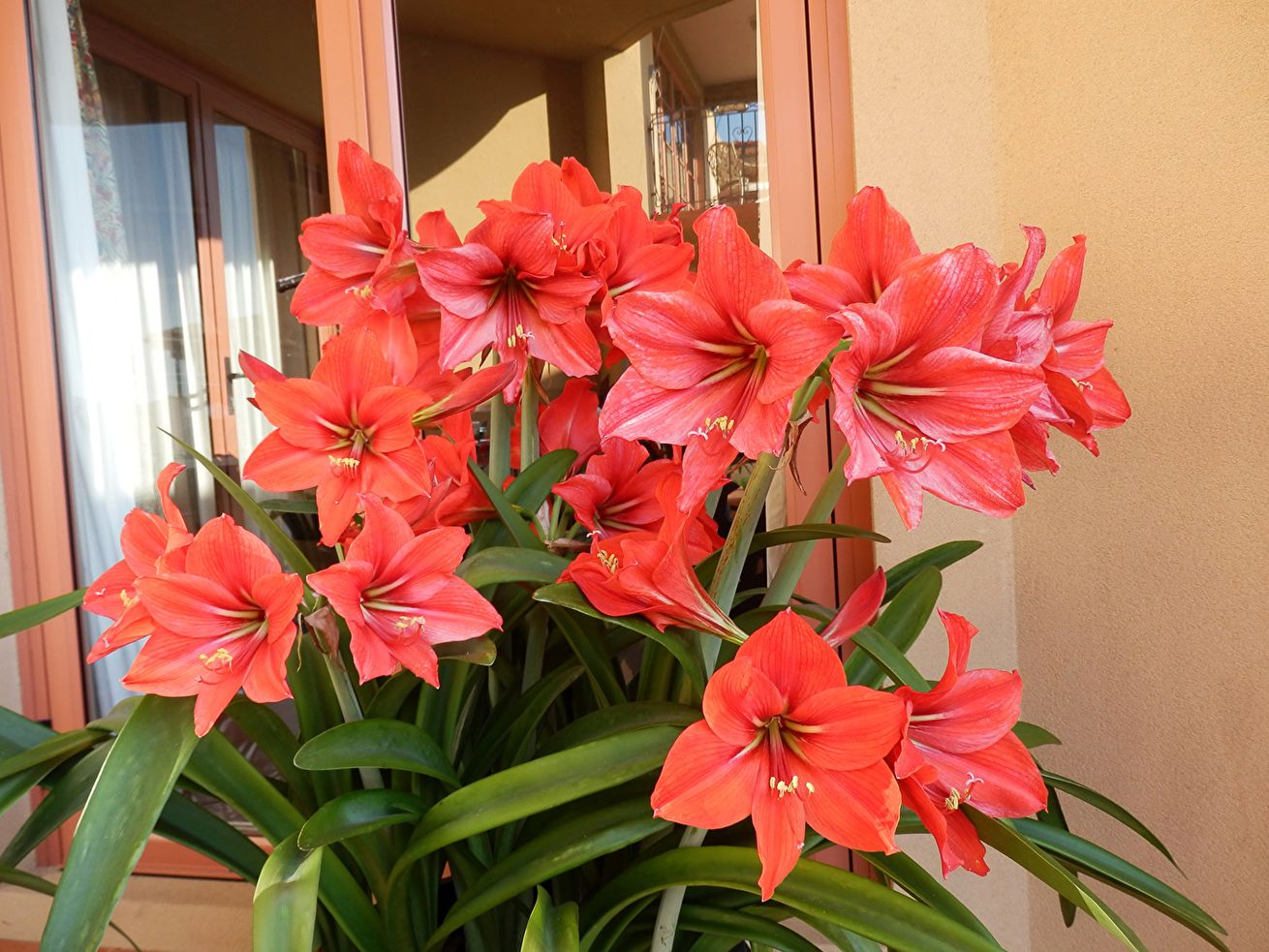фото цветка амариллис обычные фотографии могут