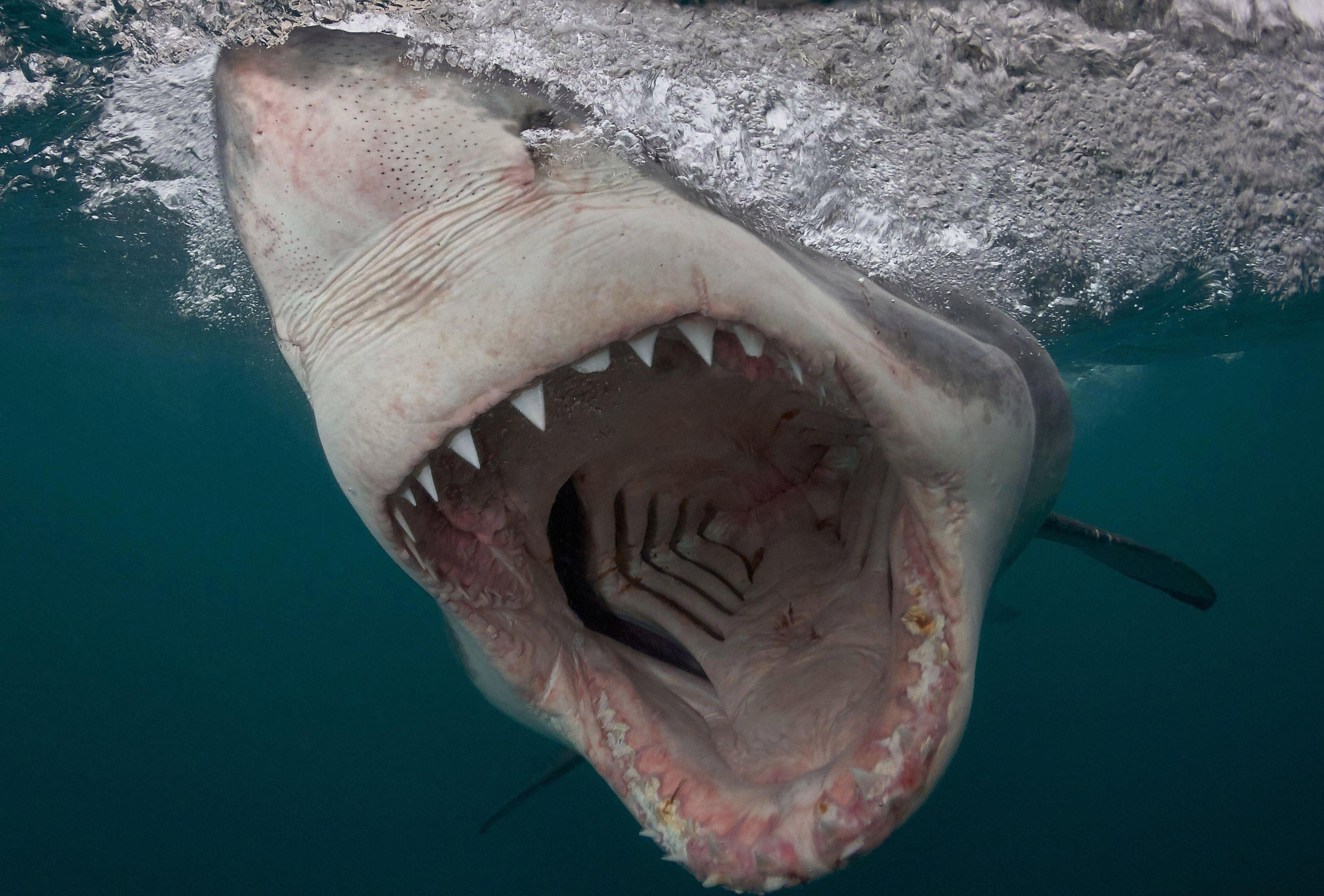 Акула убийца картинки смотреть