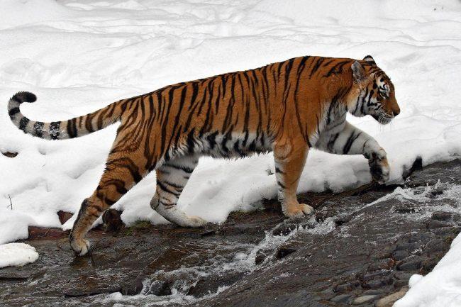 Прикольные картинки амурского тигра, кораблей открытка мая