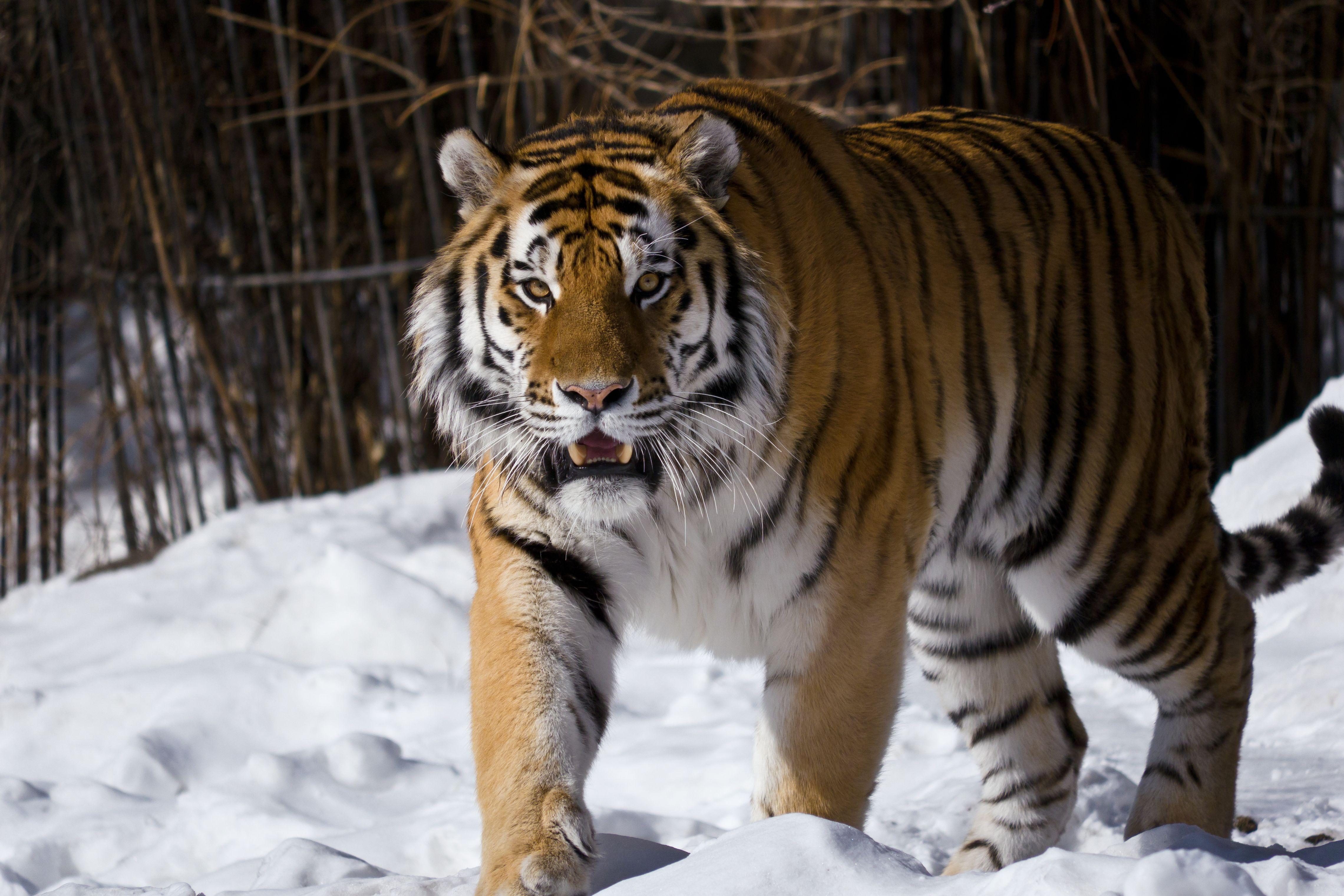 картинки про амурские тигры этот