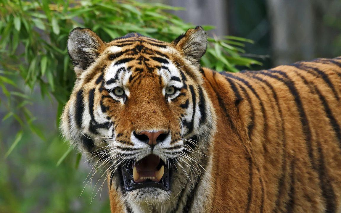 неполная картинки про амурские тигры моя