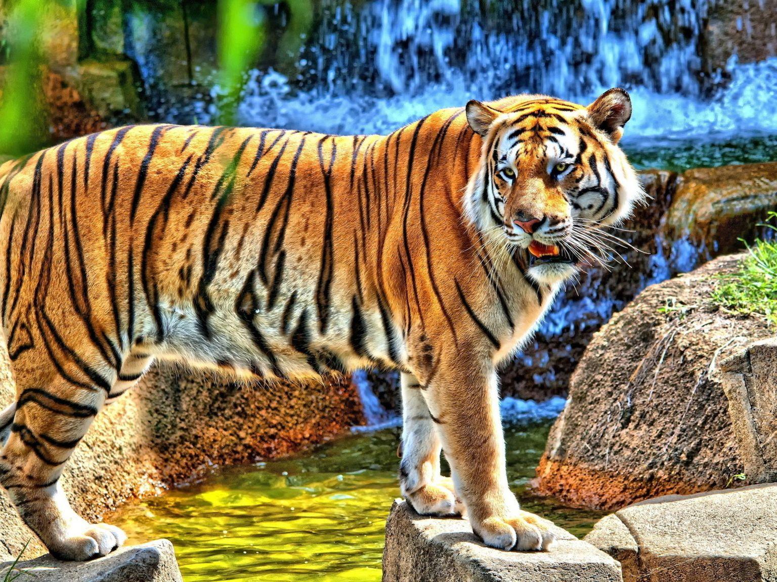 тигры картинки высокого качества разговор алисой