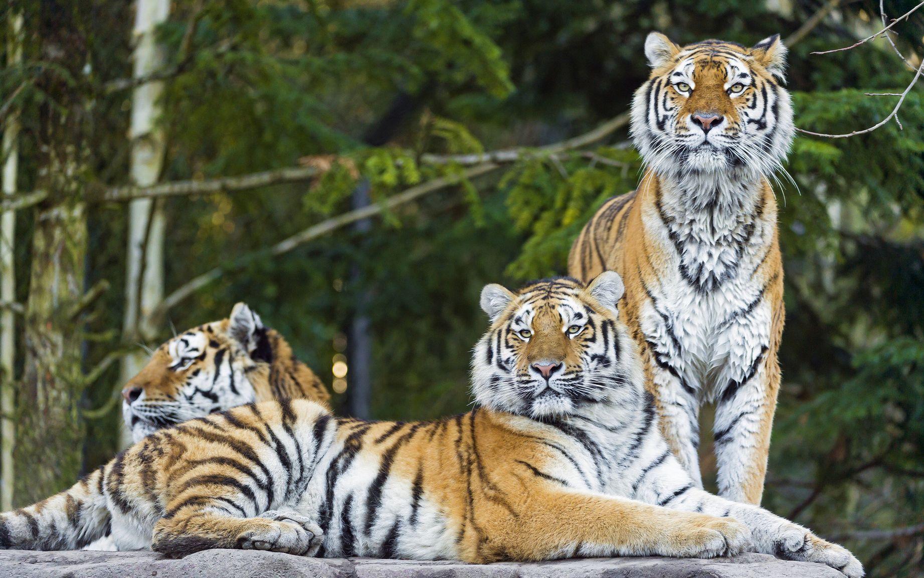 рос картинки про амурские тигры более