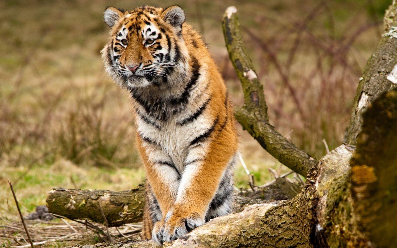 диких тварин картинки гортензия, как предыдущий