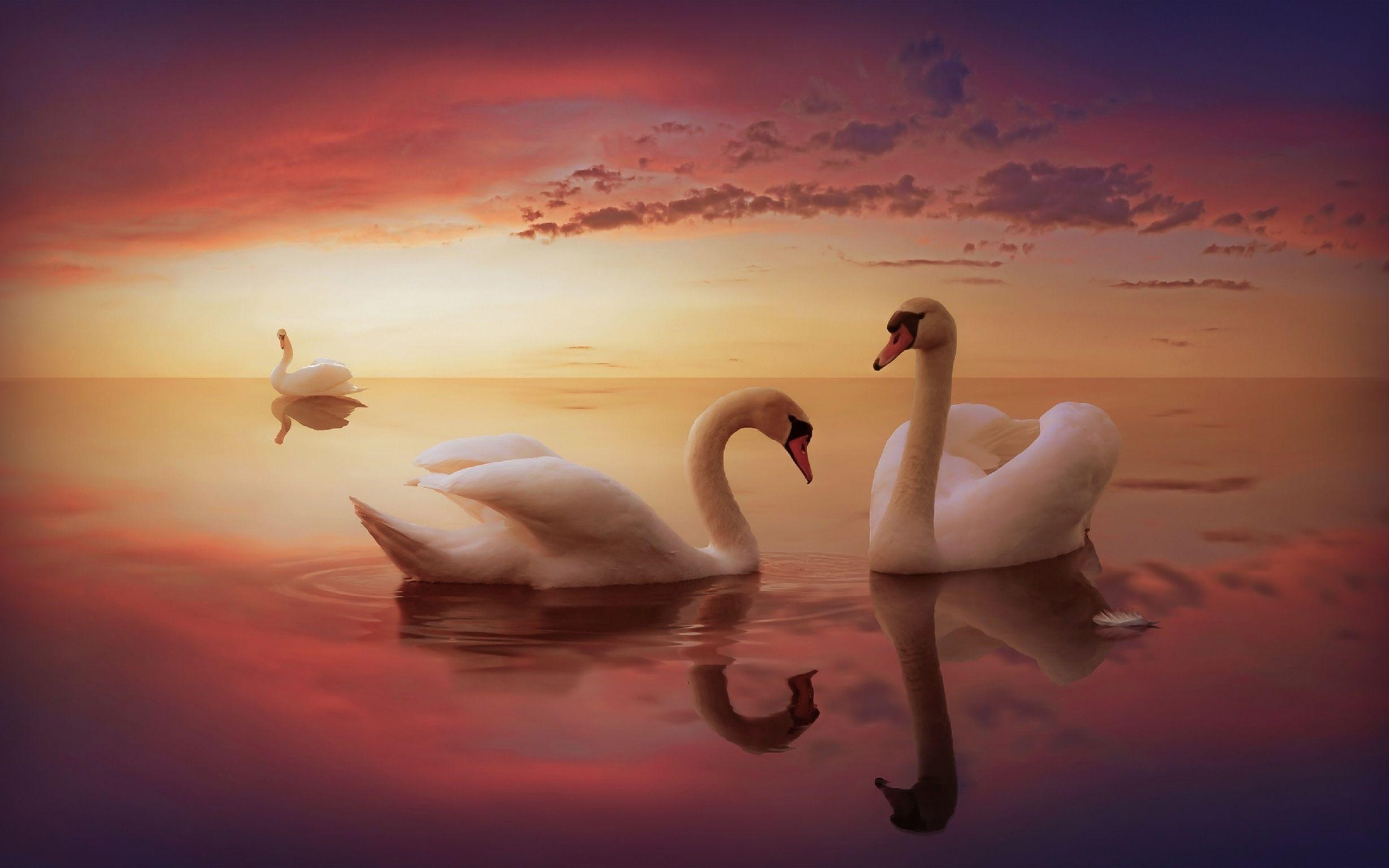 Днем, картинка с лебедями