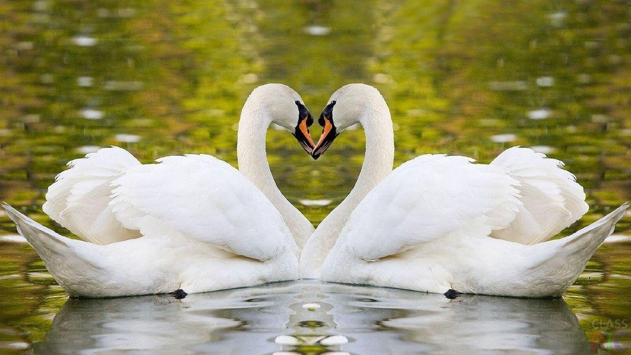 английские приветствия фото лебедей целующихся профилактики этой