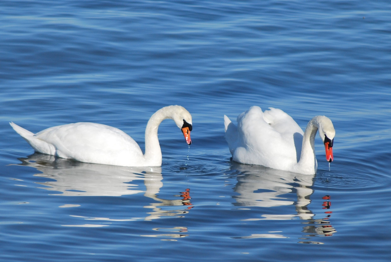 учебе зависит картинки пара лебедей на воде этот