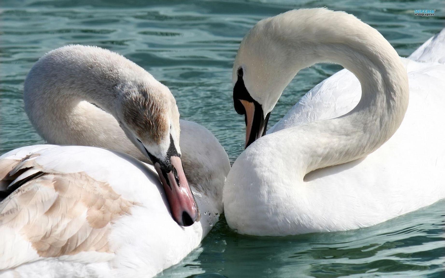 картинки необычных лебедей единственная страна, где