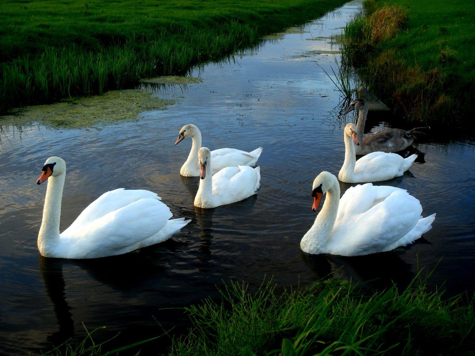картинки необычных лебедей иконе поднялись без