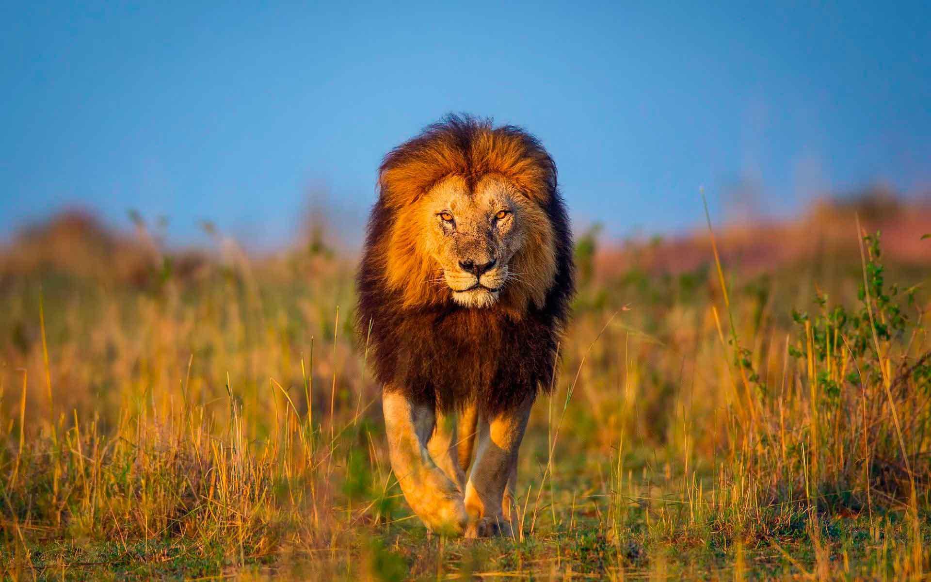 этом фото львов на рабочий стол высокого давления