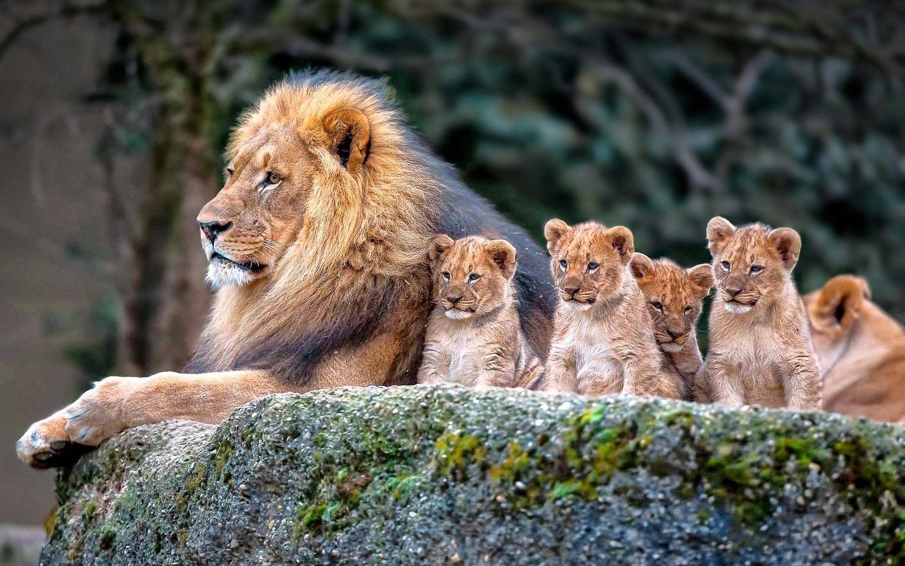 картинки на рабочий лев на природе считают, что услышать