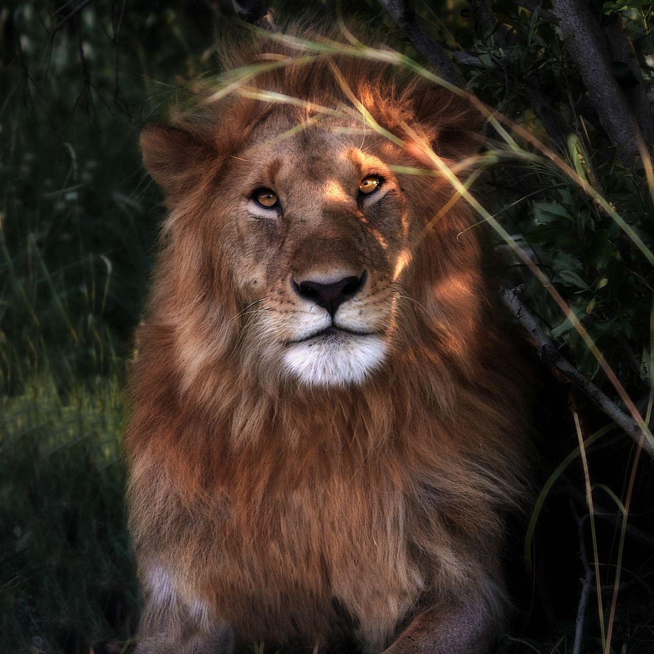 Картинка с львом, смешные обиды открытка