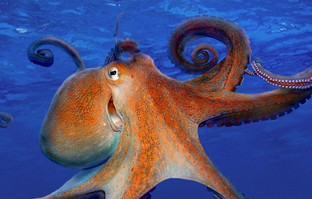 Картинки о осьминоге