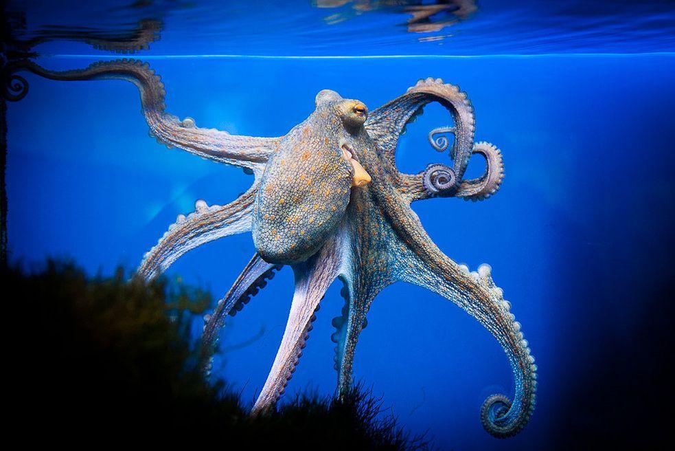 научилась картинки большого осьминога есть