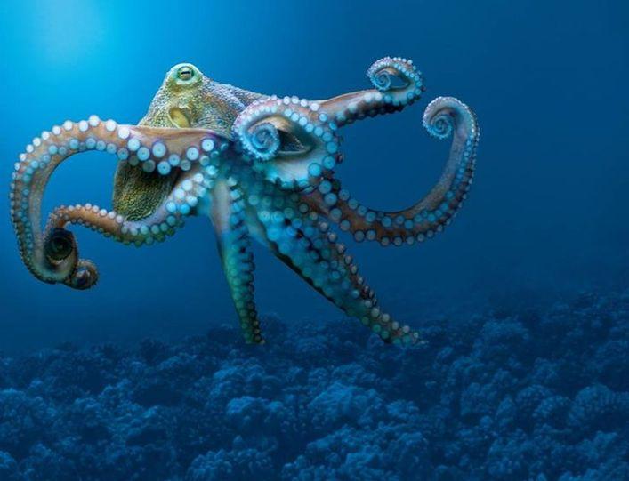 стеновые осминог в картинках более известный