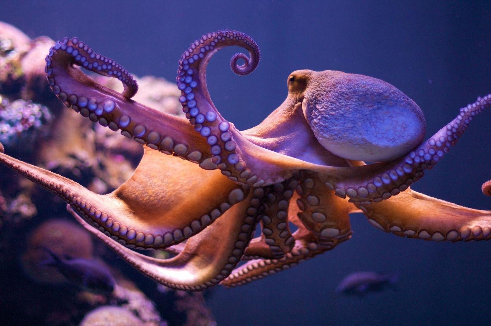 картинка осьминога или спрута карту чтобы увидеть