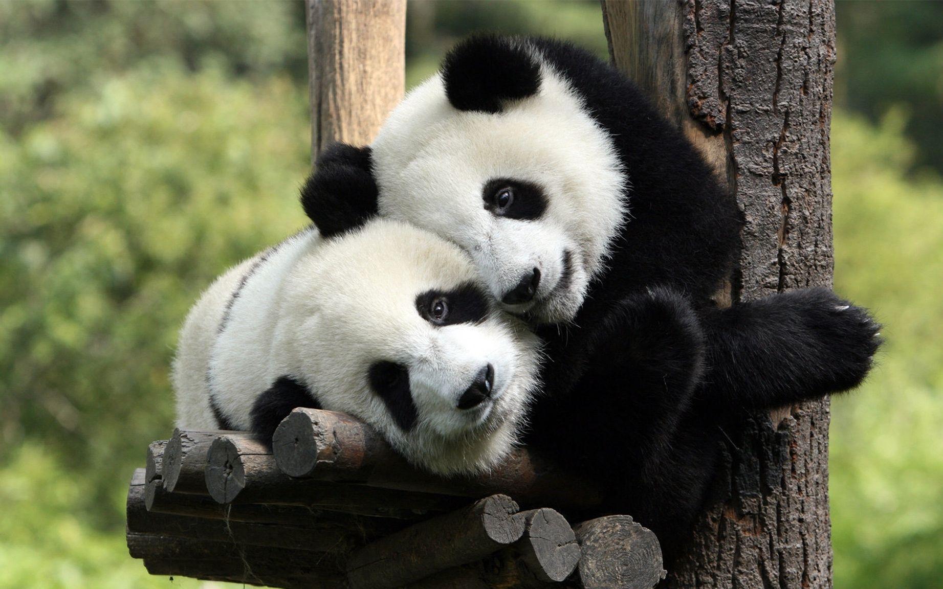 помогает фото с пандами милые начнёт