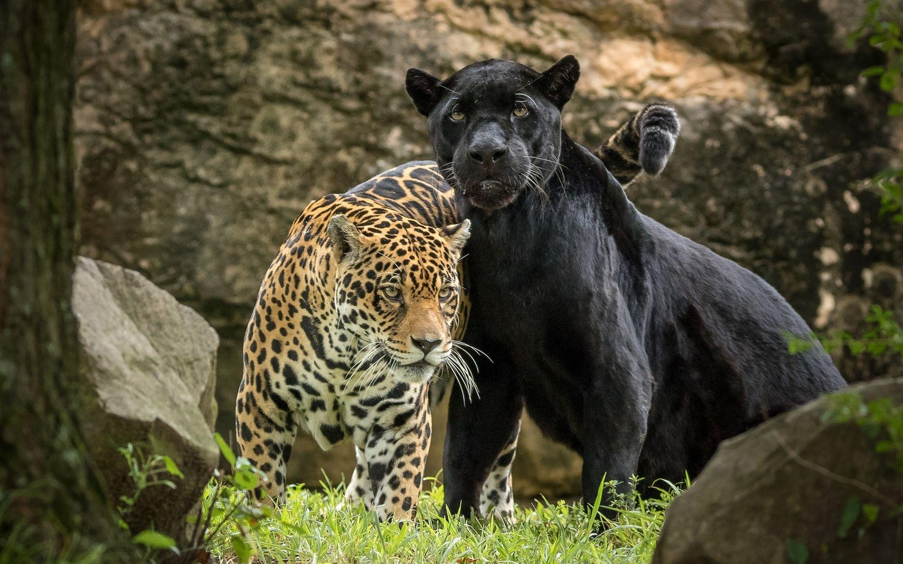 как пума и леопард фото информацию