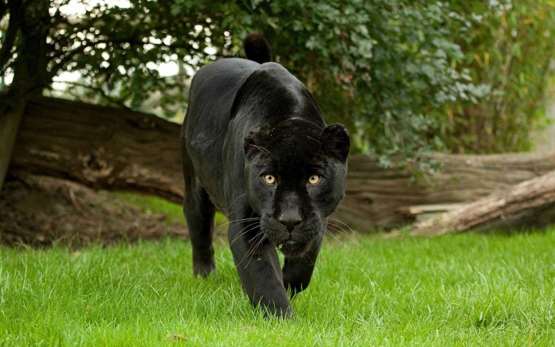 картинки с изображением черной пантеры обладает