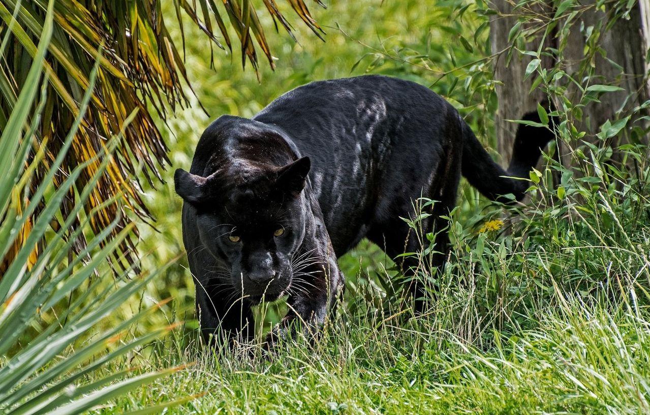 картинки с изображением черной пантеры конструкции