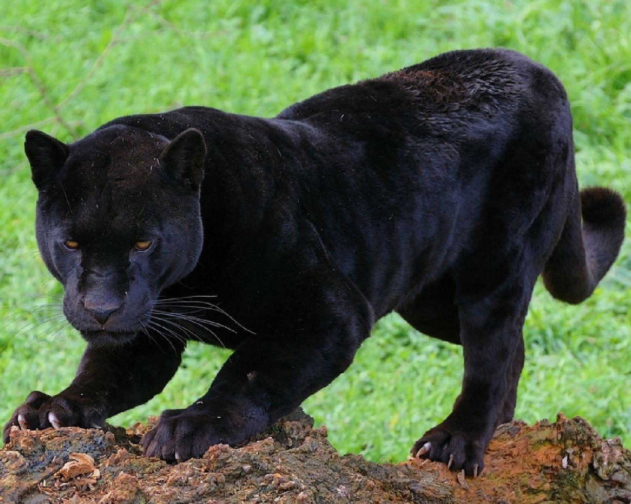 нас смотреть картинки животных пантера становится учреждением, который
