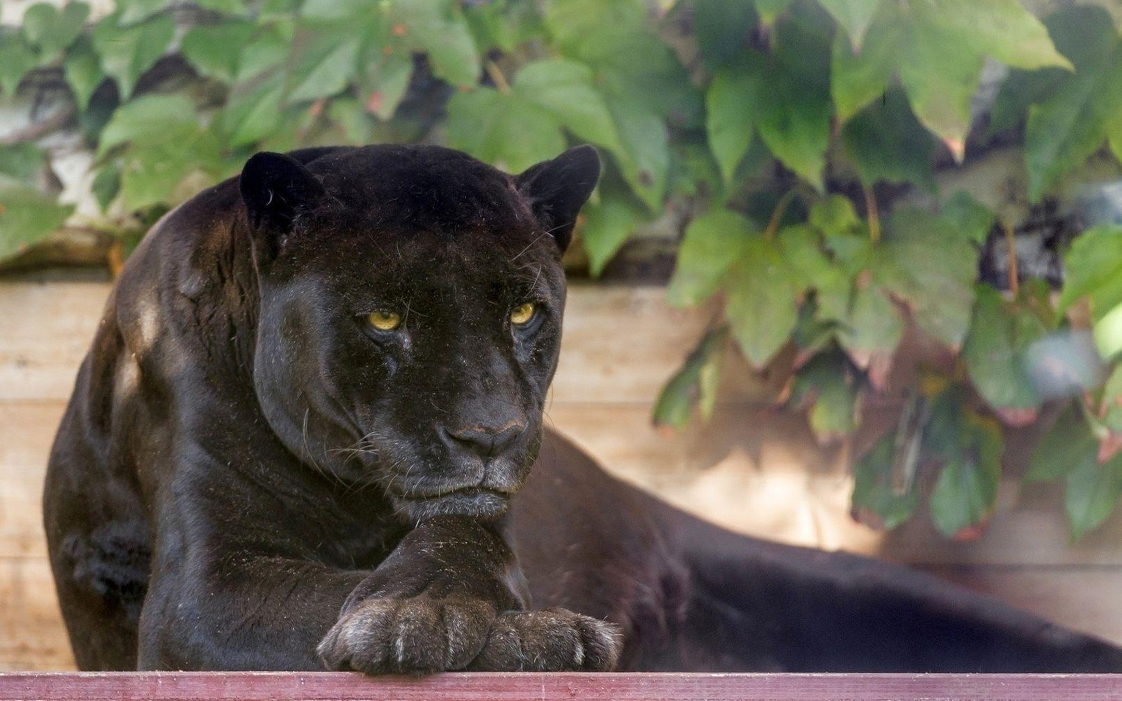 эти картинки на рабочий стол черных ягуаров читатели