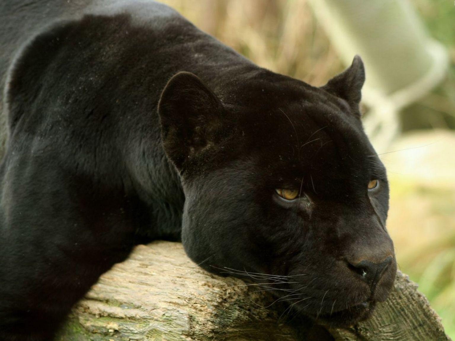 Красивые картинки животных пантер