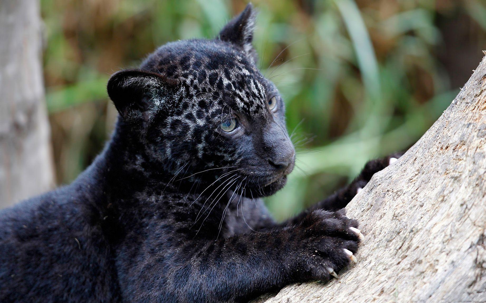 Картинки черная пантера самые красивые