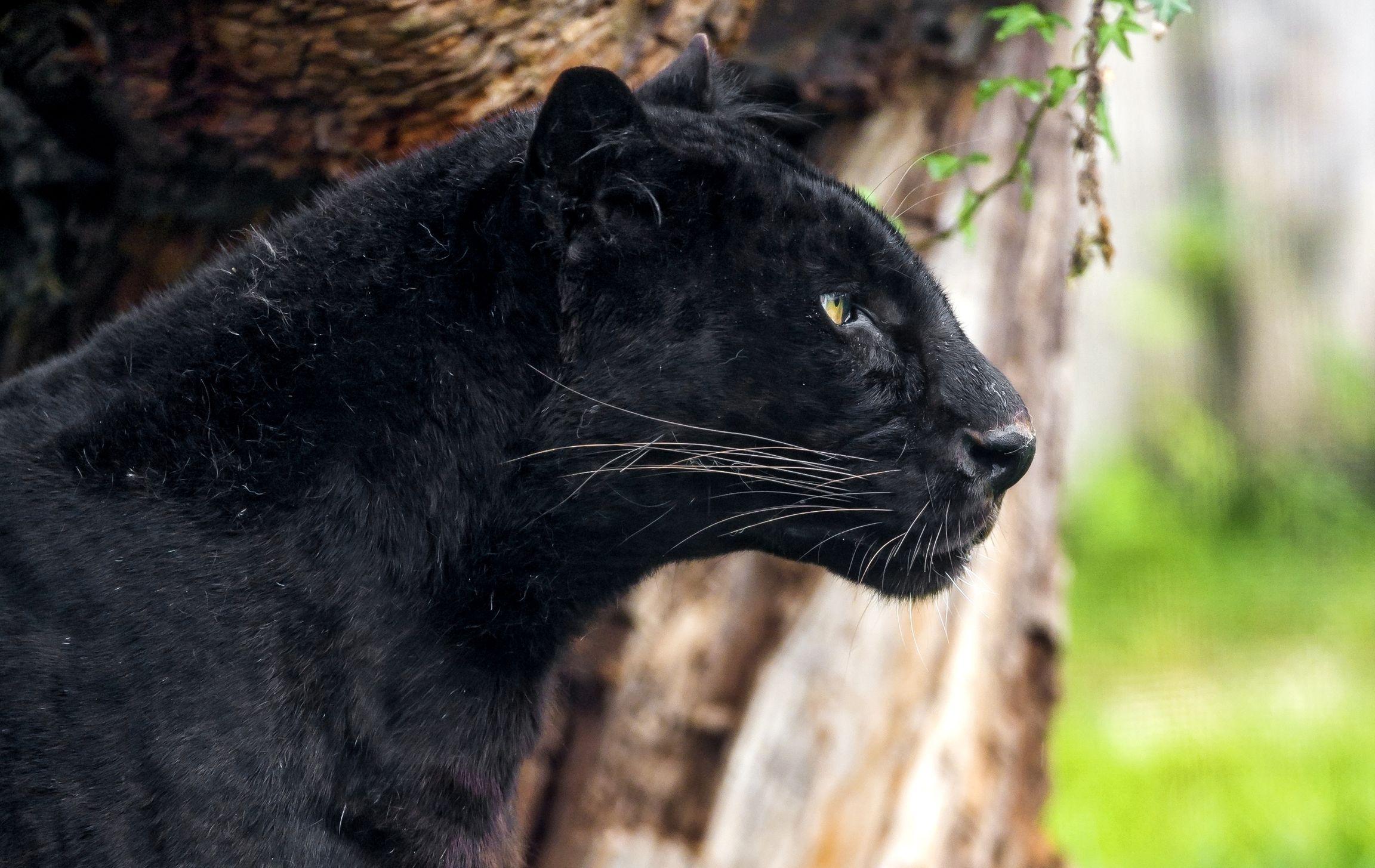 движение картинки с изображением черной пантеры фоновые