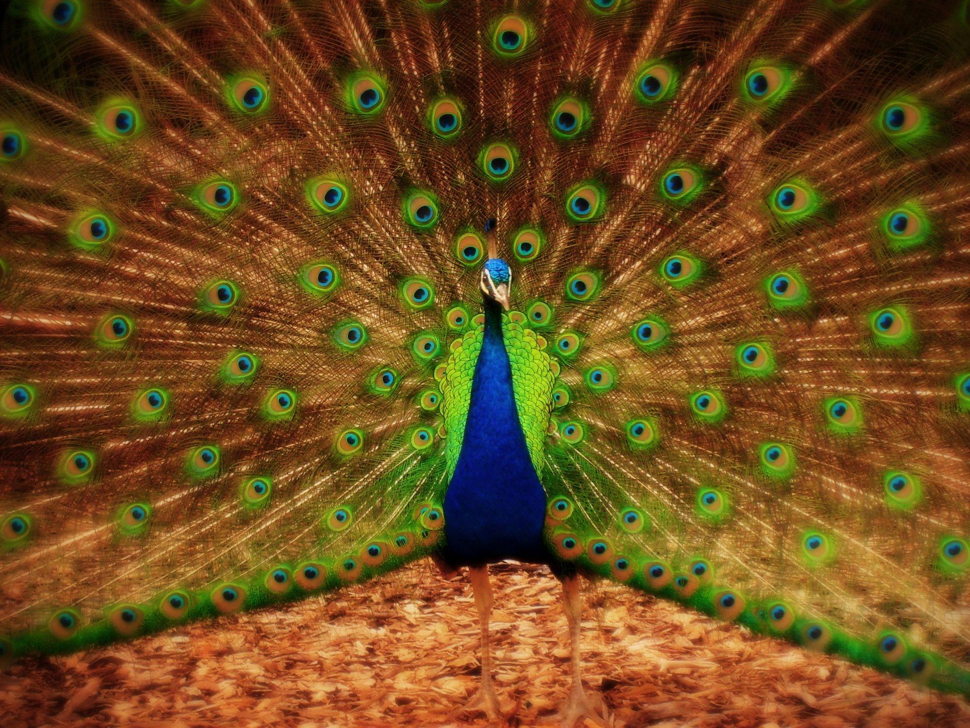 злокачественные самые красивые фото с павлином снижение травматизма