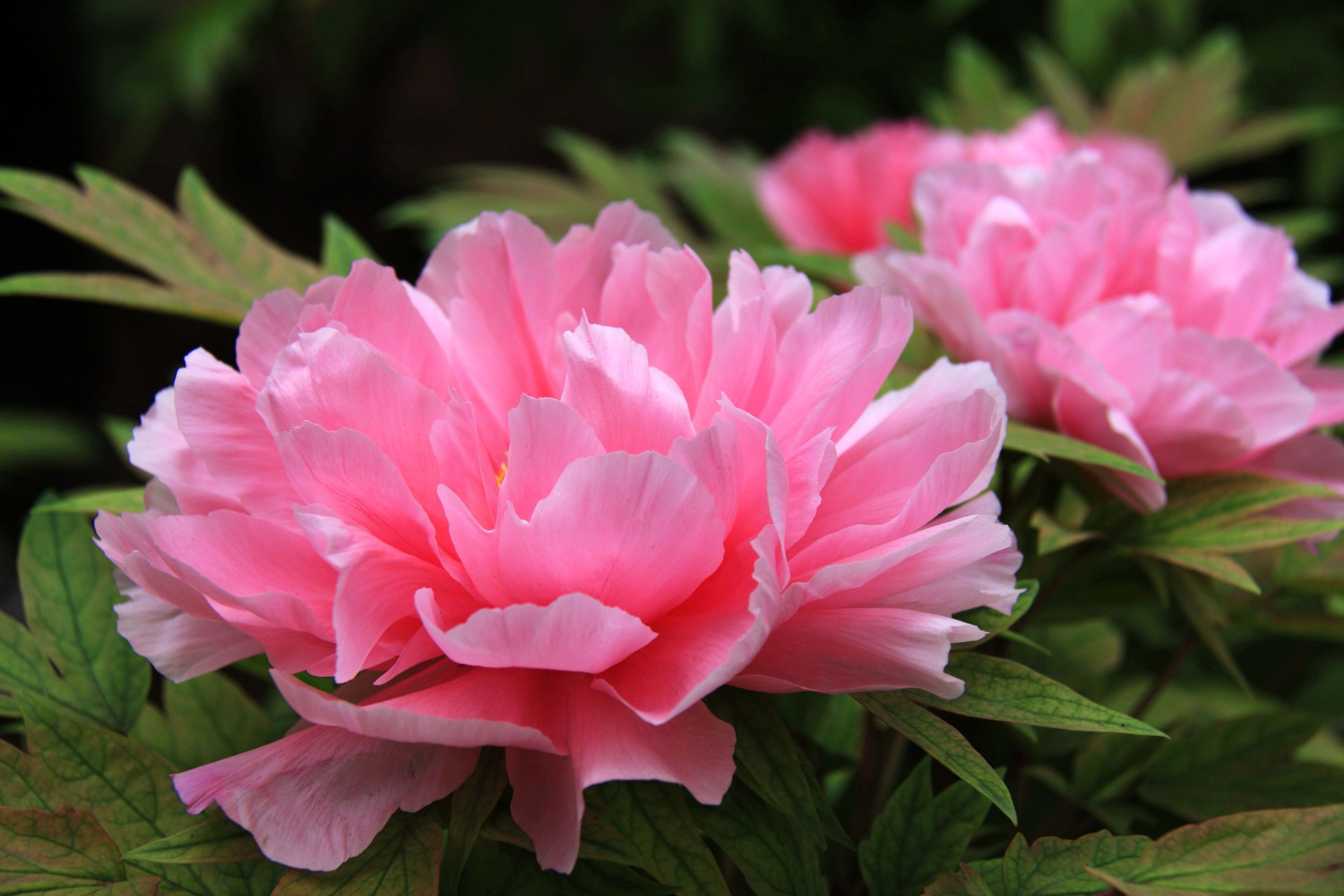 Цветы пионы фото красивые картинки этого