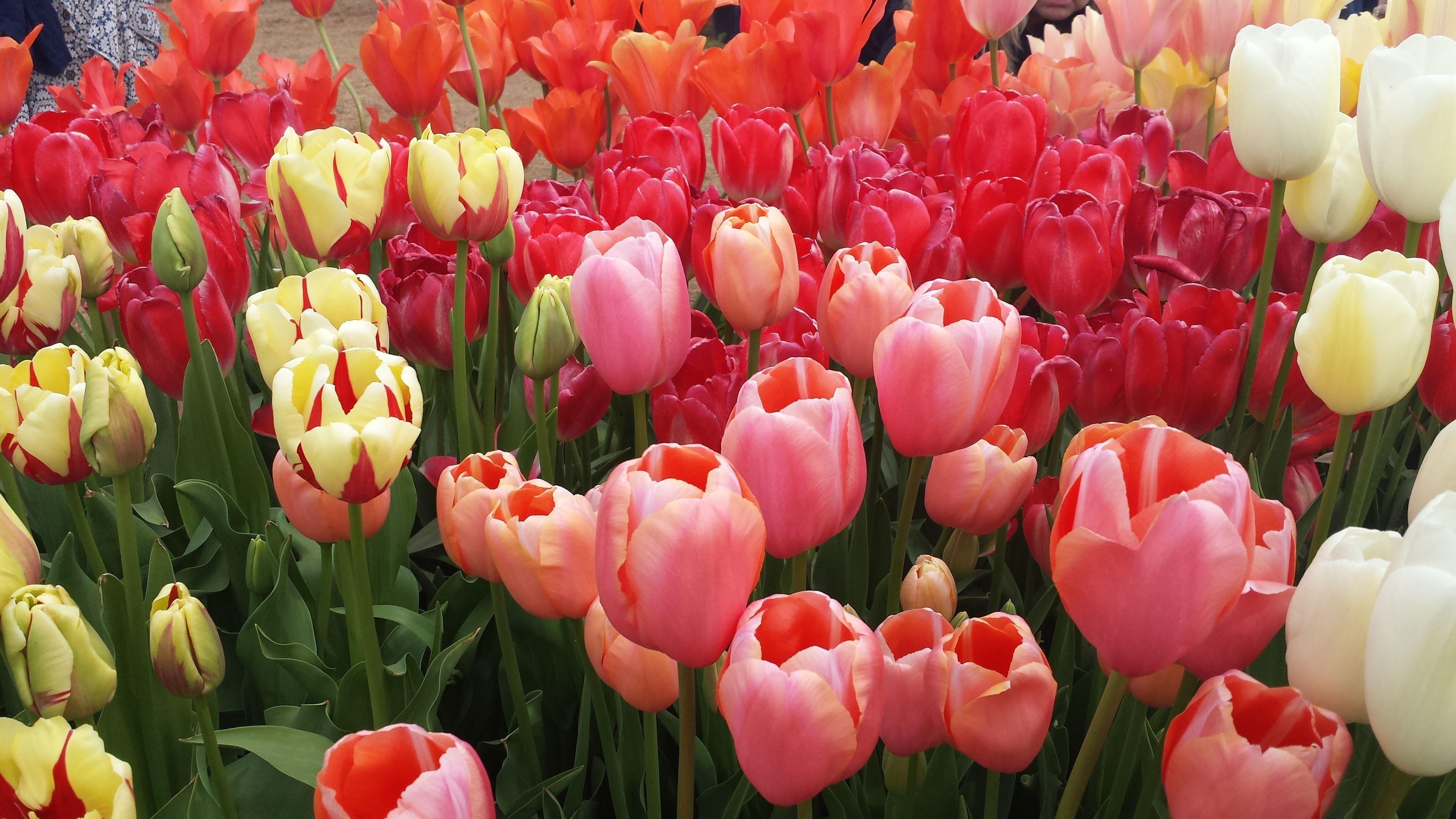 красивые картинки на рабочий стол весна тюльпаны йога позы