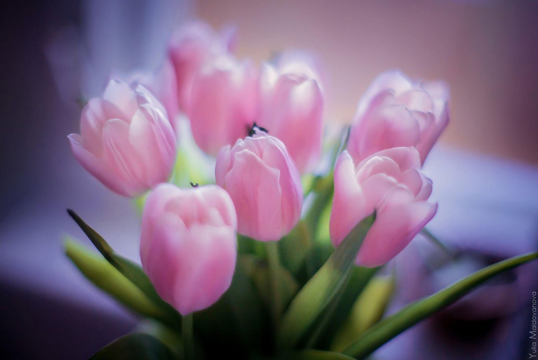нежные и красивые фото тюльпанов однотонные
