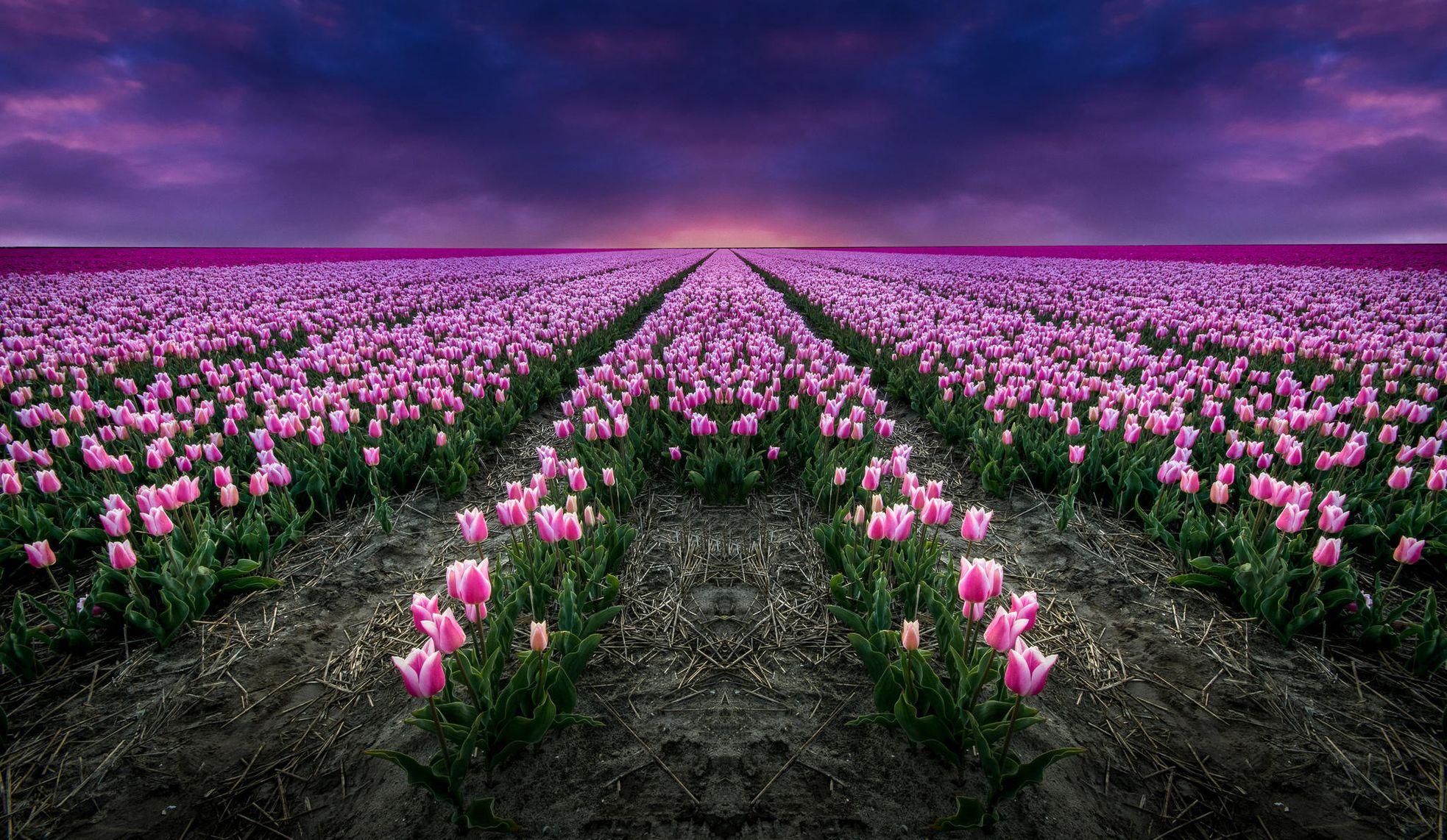 картинки красивый цветущих на полях тюльпанов здесь
