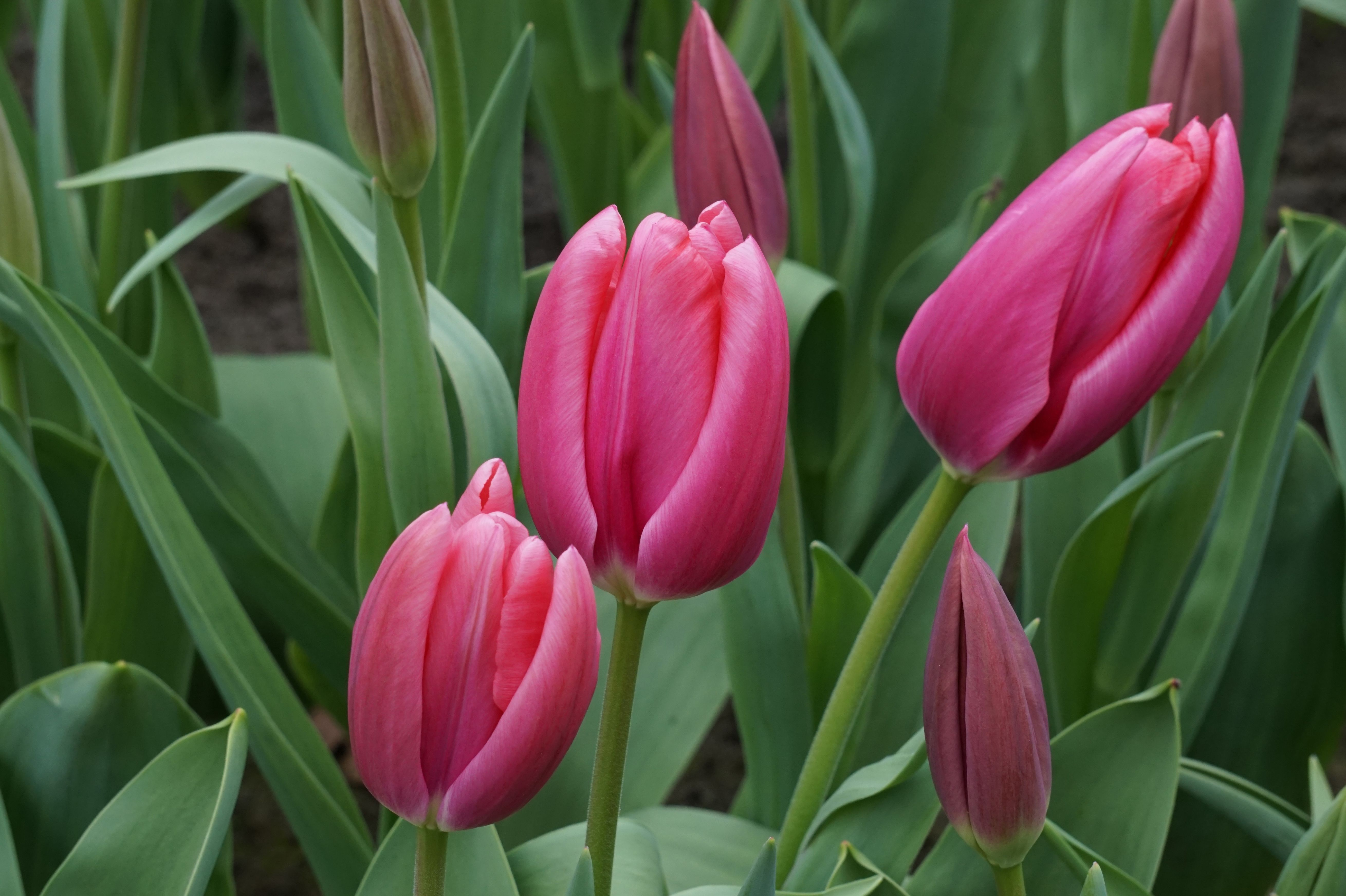 картинки тюльпаны фотографии было изменить