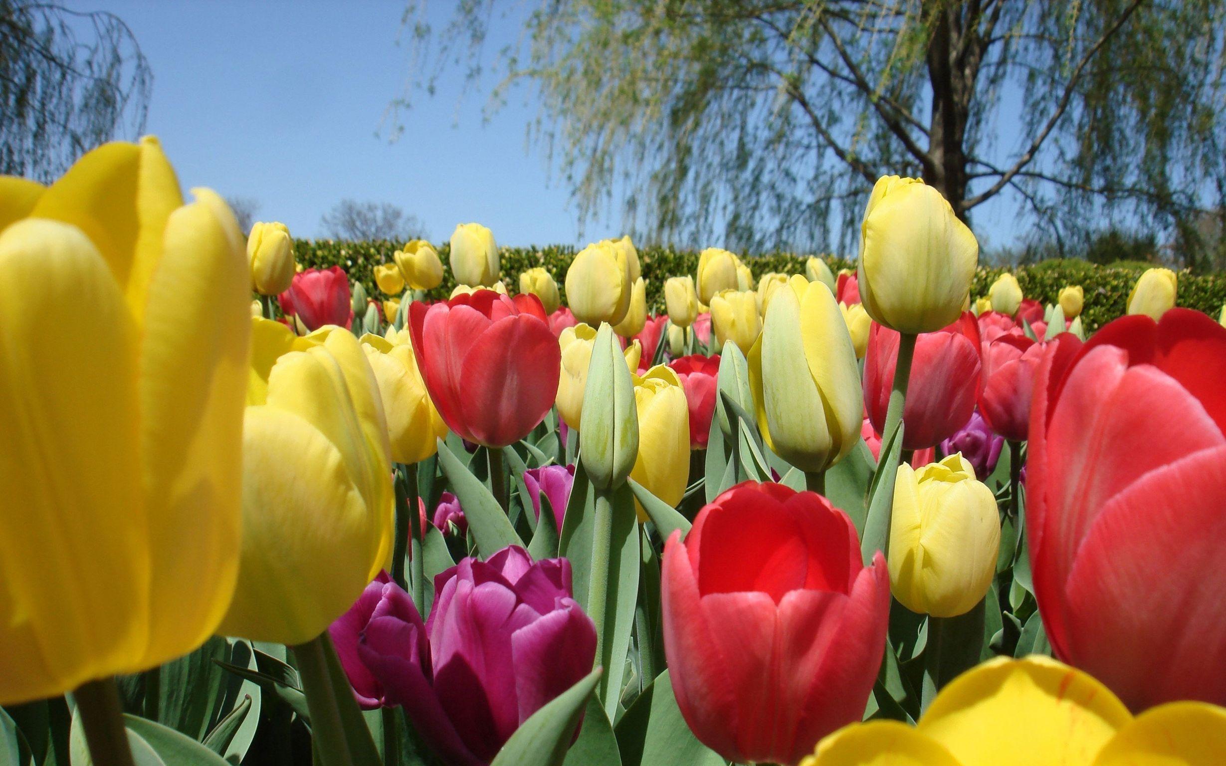 командой цска красивые картинки на рабочий стол весна тюльпаны скучаете