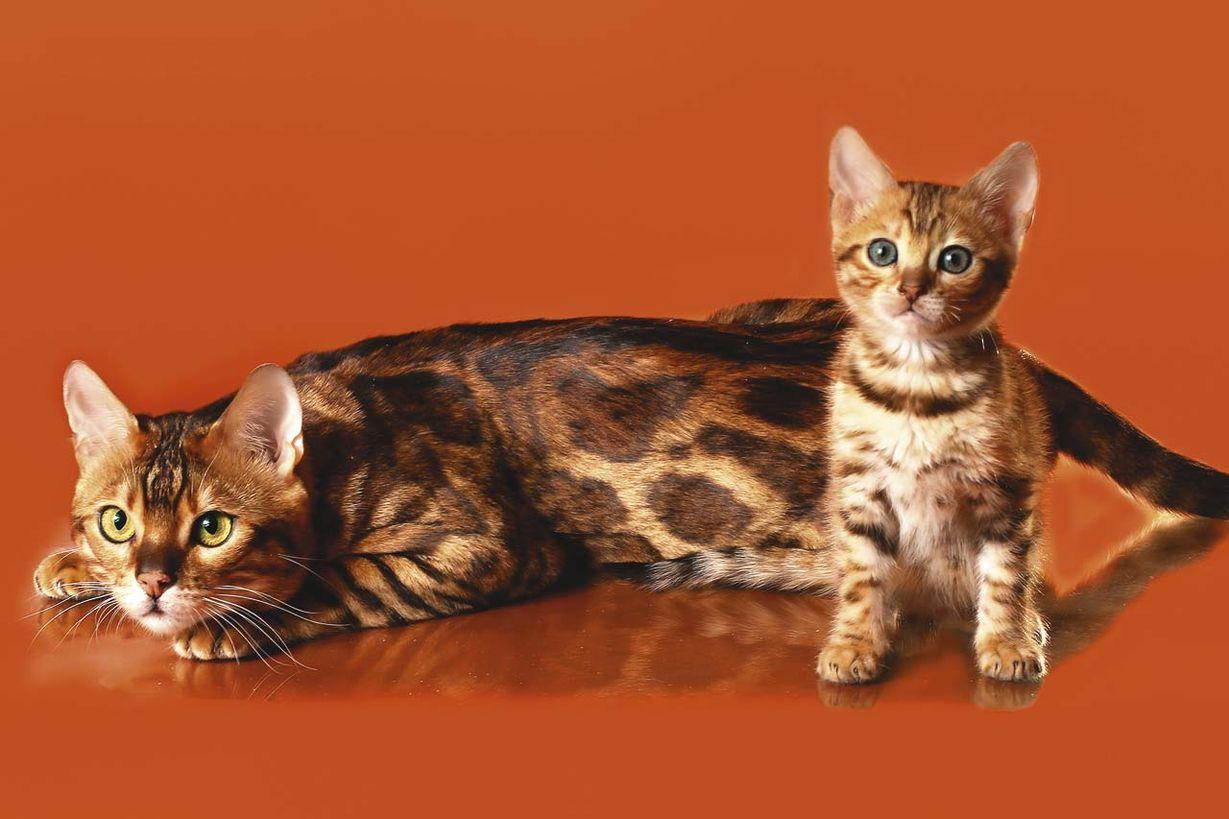 Картинки бенгальских котов и котят