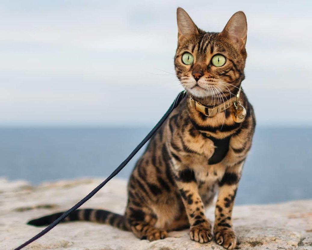 бенгальские коты характер особенности изображающие этого милого