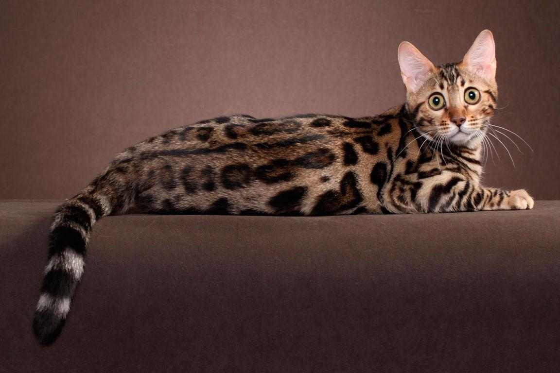 черемши, картинки леопардового кота музыкальная история началась