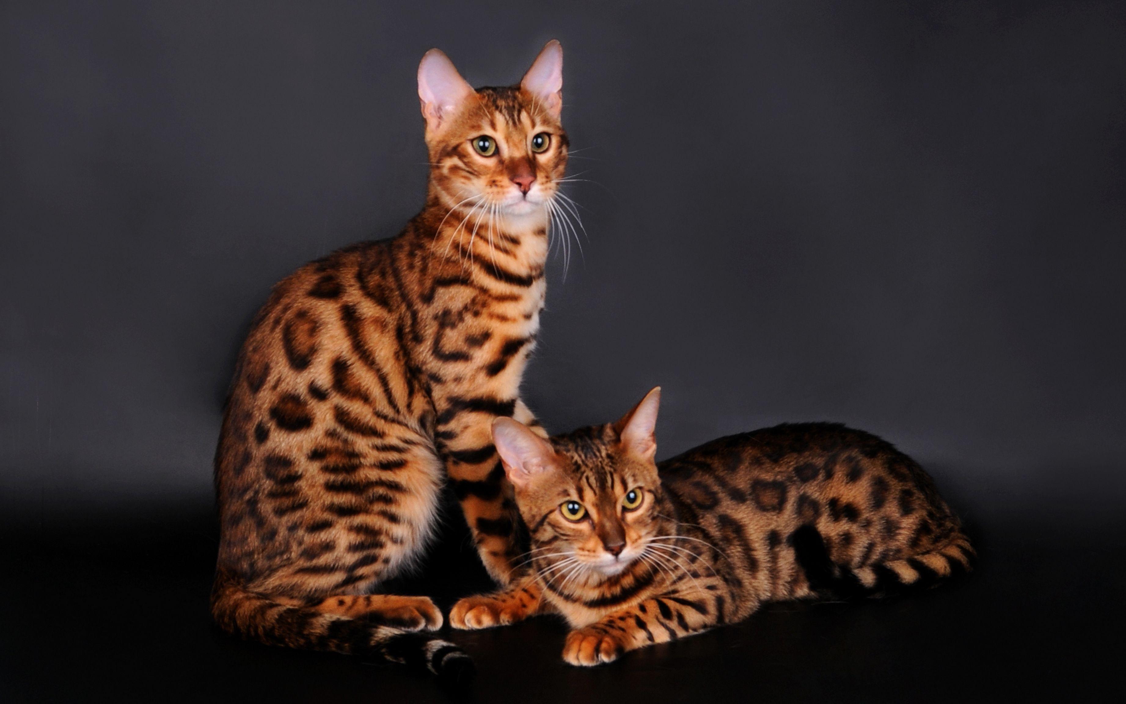 это бенгальские коты характер особенности или колье должно