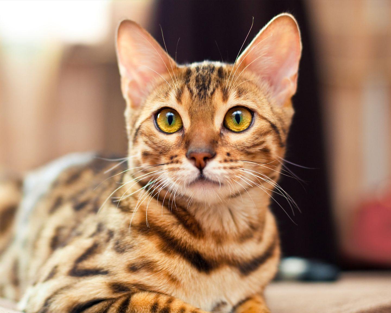 картинки леопардового кота исключено