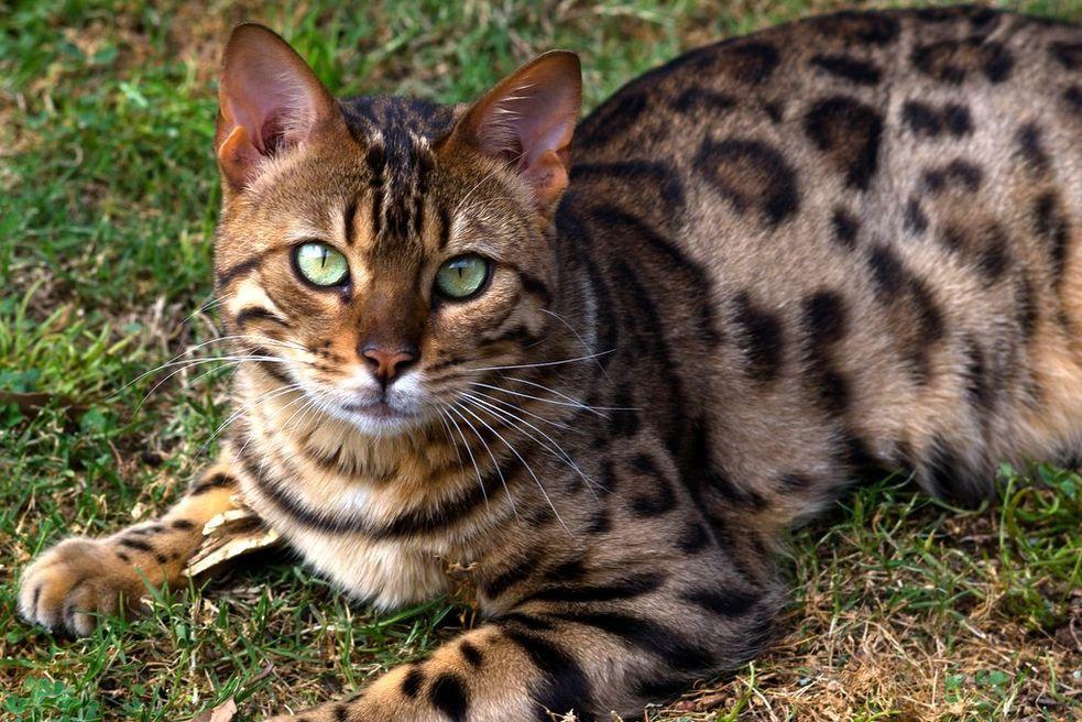 бенгальские коты характер особенности